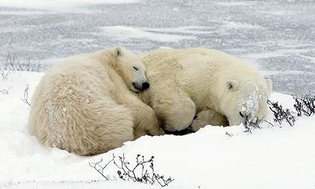 very comfortable sleeping polar bear mommy