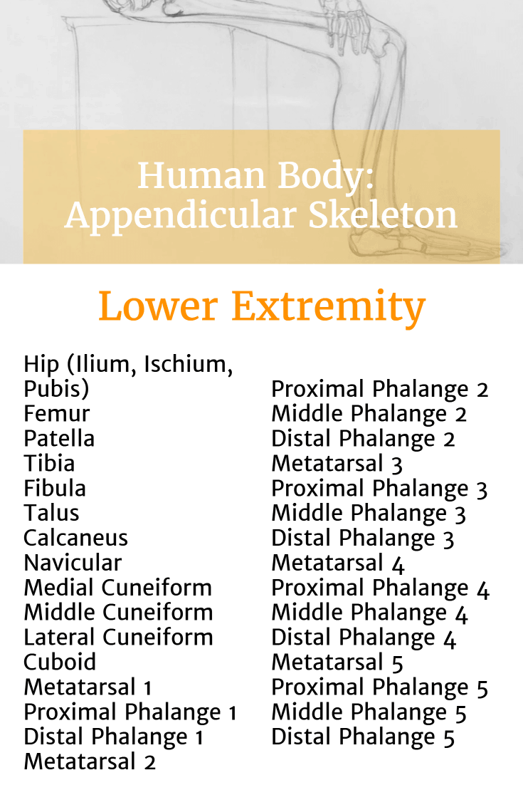 List of bones in the Lower Extremity of the Appendicular Skeleton