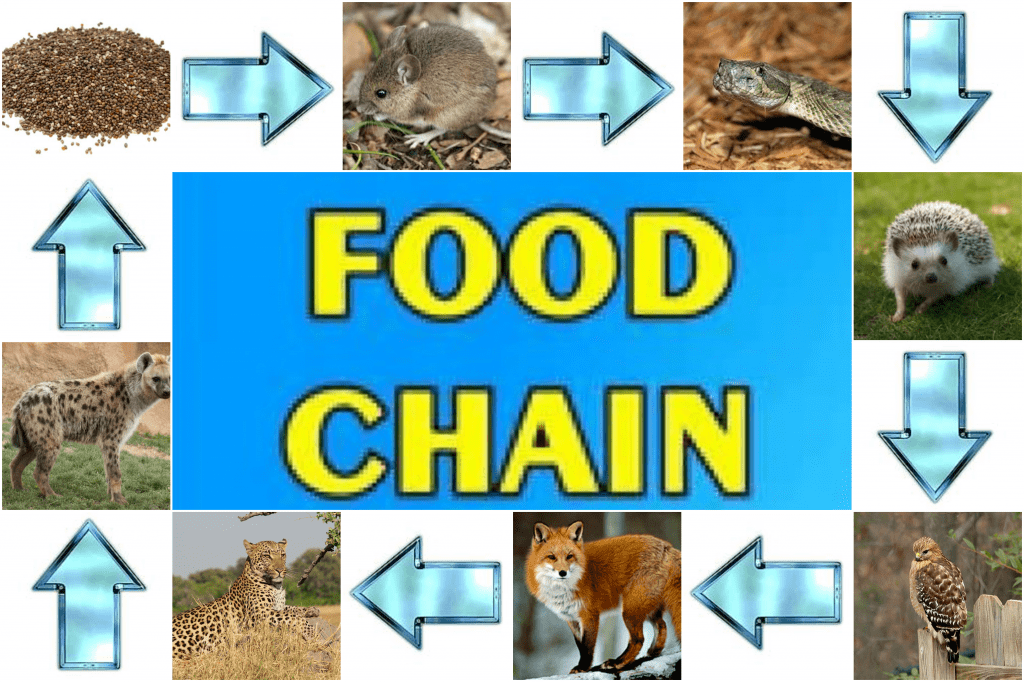Simple Animal Kingdom Food Chain Chart