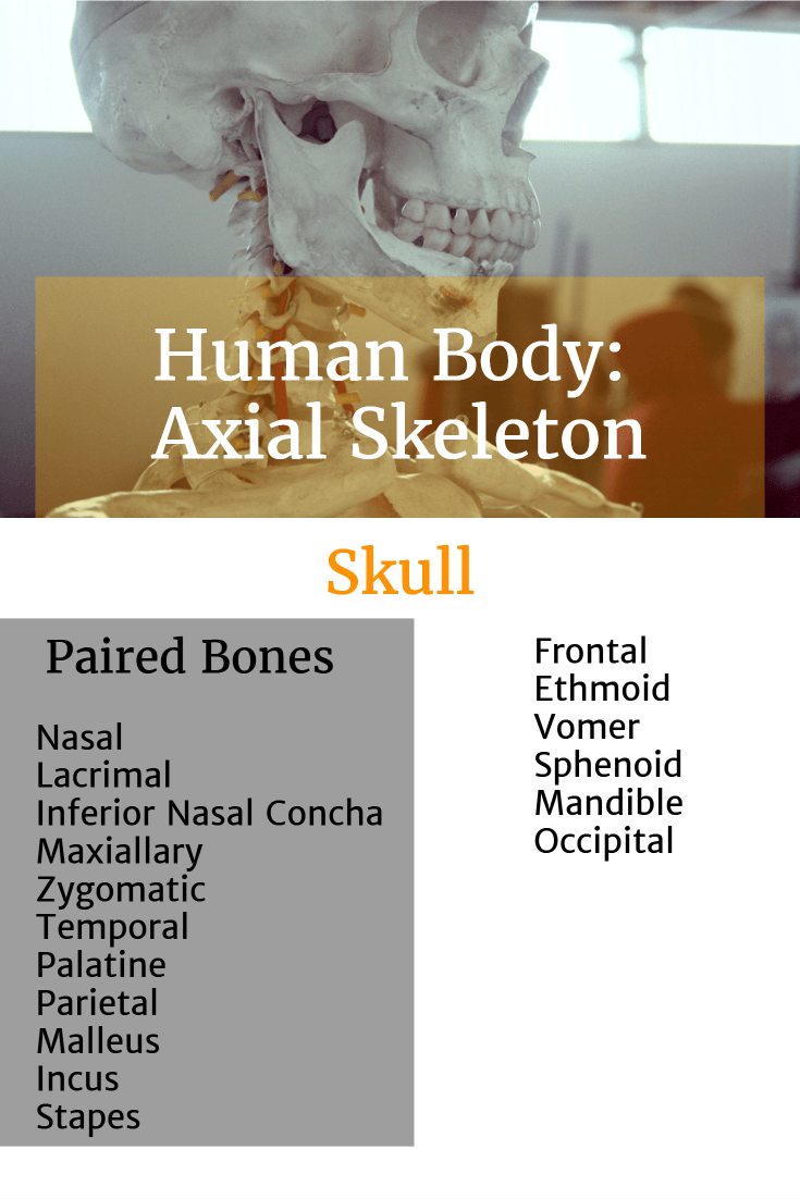 List of human body axial skeleton skull bones